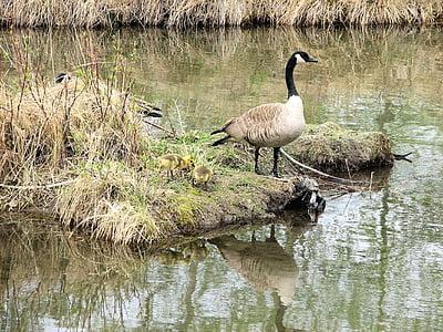Канада гъски, малките, местообитание, Светилището, Канада
