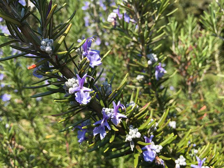 rozmaring, tavaszi virágok, gyógynövény