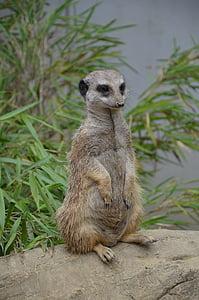 Meerkat, Zoo, meestel teha, portree, loodus, looma, imetaja