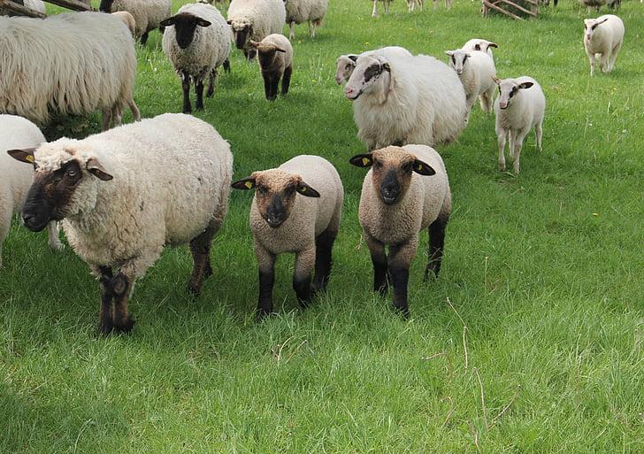 Westfalenin musta pää lampaat, lampaat, karitsat, lammaslauma, Animal lapset, kevään, niitty