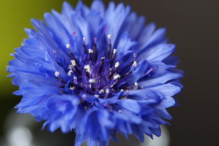 Korenbloem, Wild flower, bloem, Blossom, Bloom, blauw
