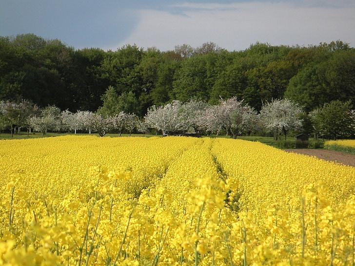 lĩnh vực rapeseeds, mùa xuân, cảnh quan, lĩnh vực, màu vàng, Thiên nhiên, Arable