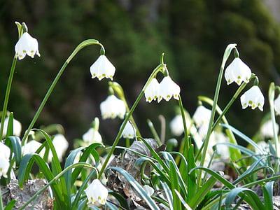 snežinka, pomlad, spomladi cvet, cvet, cvet, cvet, bela
