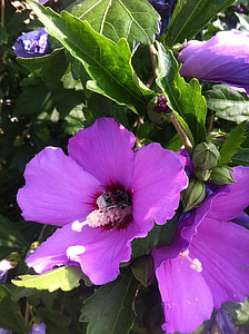 hibiscus, flower, mallow, blossom, bloom, close, nature