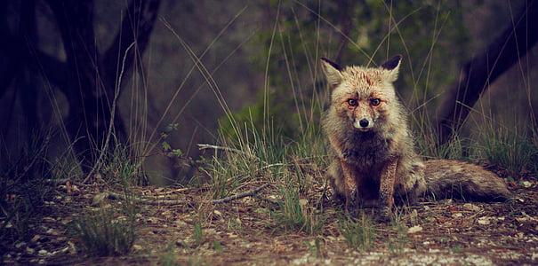 Fuchs, Tierwelt, Tier, im freien, Säugetier, Natur, Fleischfresser