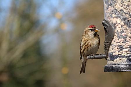 lesser redpoll, redpoll, garden bird, feeder, bird, cabaret, finch