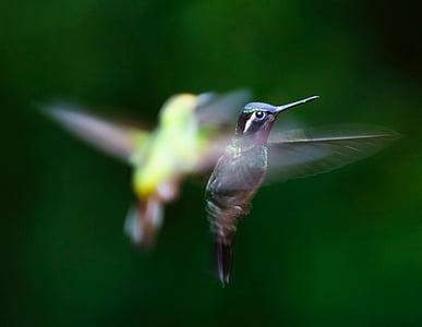 Colibrì, uccello, Trochilidae, volare, disegno di legge, ala, un animale
