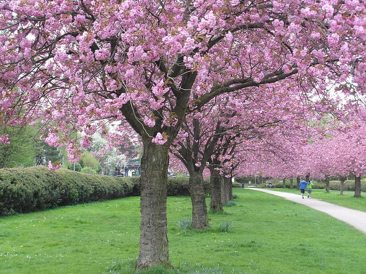 flor del cirerer, vermell, Avinguda, Rosa, tendre, primavera, verd