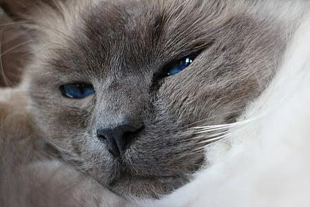 животните, домашен любимец, котка, главата, лицето, котка лице, Портрет