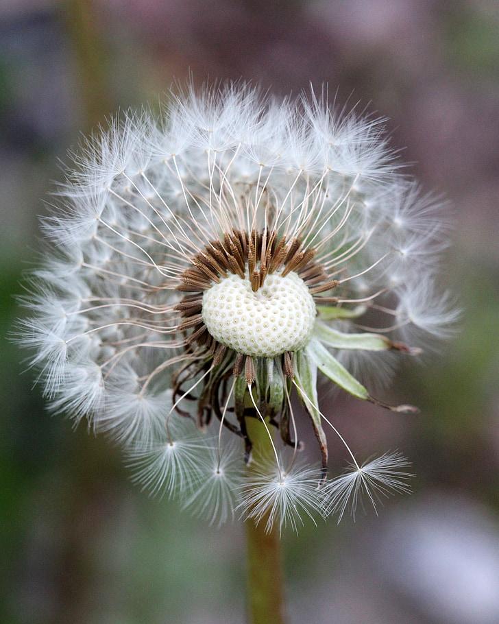 võilill, umbrohi, taim, seemne juht, muru, kohev, seemned