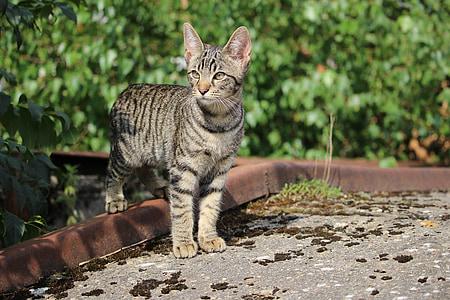 γάτα, γατάκι, γάτα μωρό, σκουμπρί