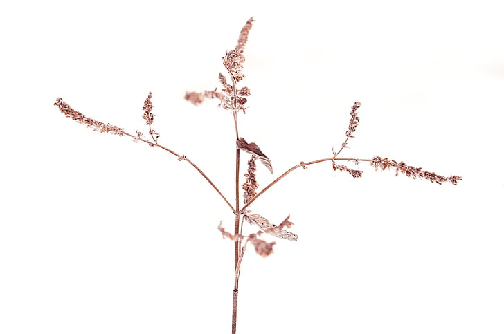plant, dry, faded, seeds, winter, nature, frozen