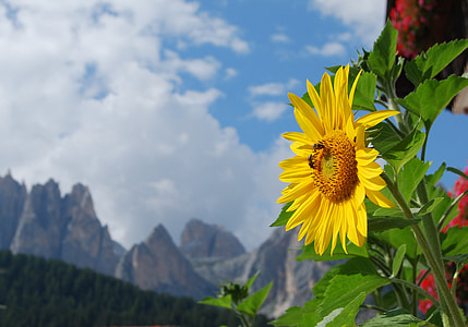 sunflower, alps, dolomites, sky, clouds, mountains