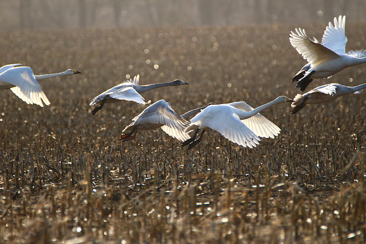 Лебедь-кликун, птица, Лебедь, пахотные земли, поле, Прилетная птица, лебеди