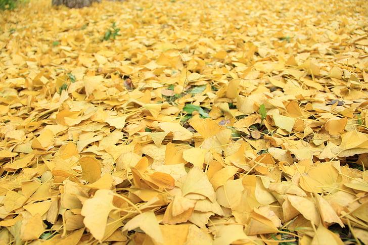 groc daurat, defoliació, tardor, Ginkgo, temporada, color