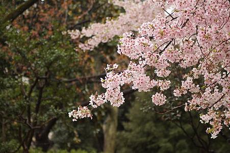 cirerer, cirerer, cirera, primavera, Rosa, flor, arbre