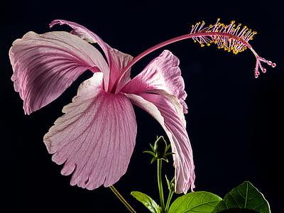 hibiszkusz, Blossom, Bloom, virág, rózsaszín, fehérmályva, mályva