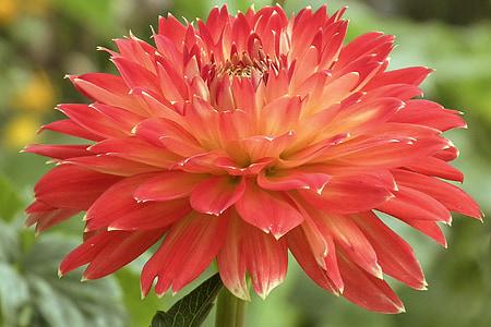 dàlia, vermell, flor, flor, jardí, jardí de dàlia, flora