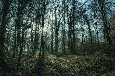 bosc, arbres, natura, paisatge, gelades, sol, fred