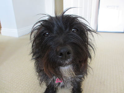 dog, terrier, animal, pet, canine, puppy, doggy