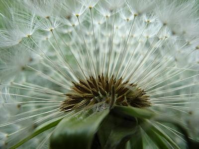 võilill, Aed, suvel, kevadel, heinamaa, taim, seemne