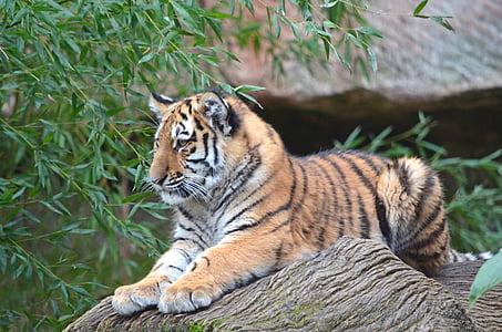 tiger, animals, zoo, nuremberg, tiger cub, cat, amurtiger
