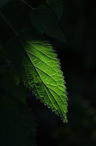 žihľava, rastlín, Zelená, Leaf, Zelená farba, poľnohospodárstvo, rast