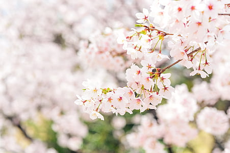 japan, landscape, spring, plant, cherry, flowers, natural