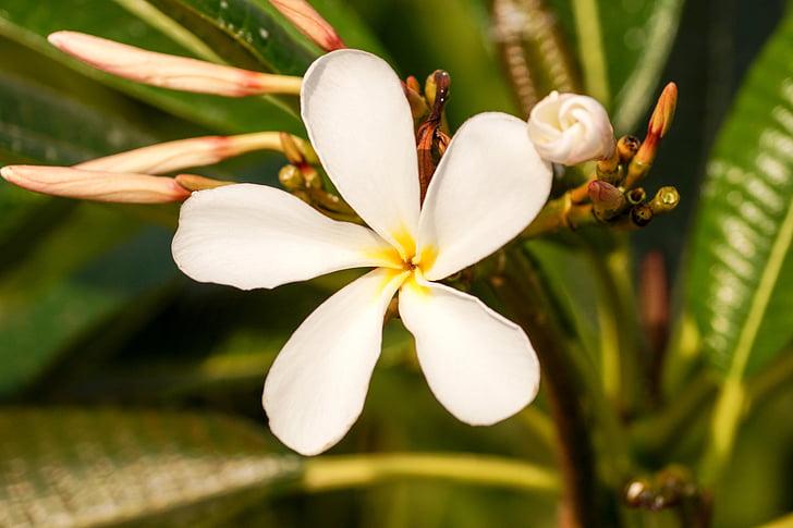 blomst, Frangipani flower, Plumeria blomst, fem petal blomst, hvid blomst, stjerne blomst, enkelt blomst