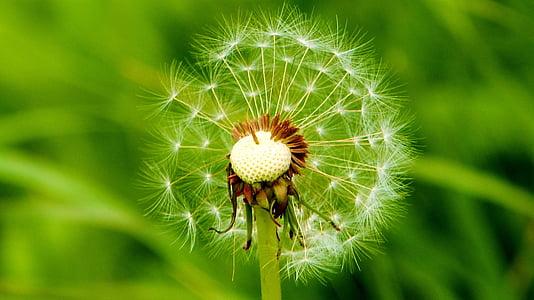 Púpava, Cestná, spoločné púpava, Príroda, rastlín, detail, letné