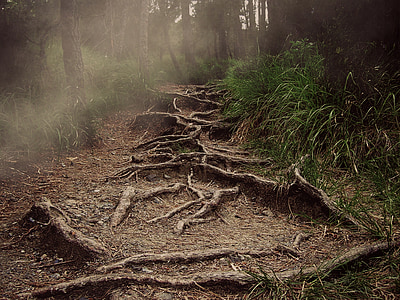 camí, arrels, muntanya, la boira, bosc, horror, natura