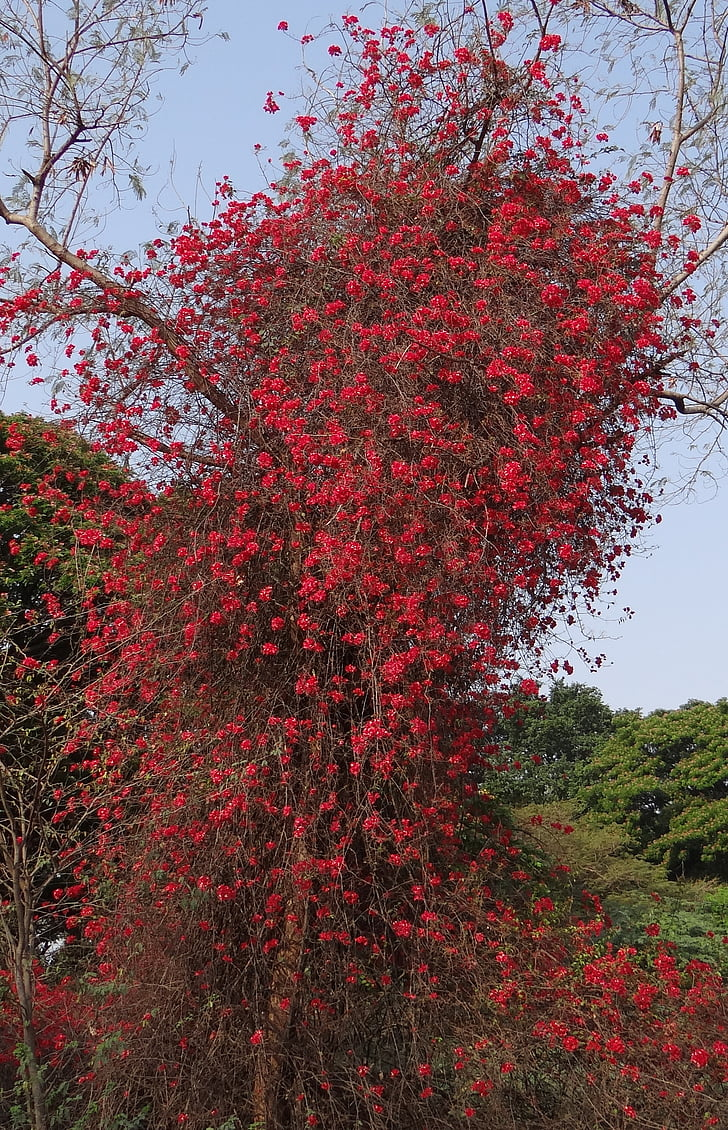 Бугенвиль, альпинист, Цветы, красный, Блоссом, изобилие, Индия