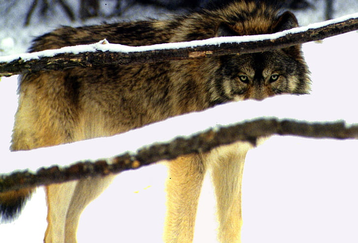 wolf, eyes, snow, winter, wild, canine, canis lupus
