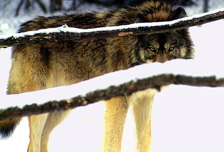 llop, ulls, neu, l'hivern, salvatge, canina, Canis lupus