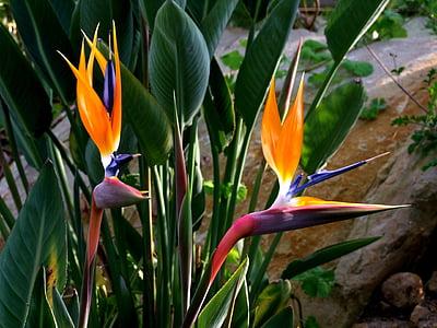 strelitzia, flowers, bird flower, bird of paradise flower, bird of paradise, couple, botanical garden