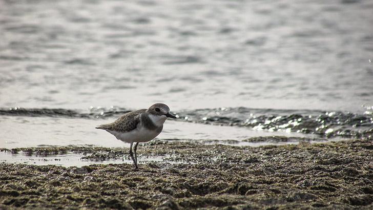 stint, seabird, migratory, nature, wild, fauna, ecosystem