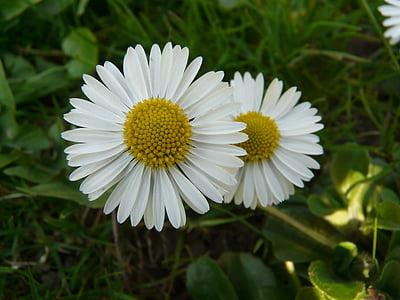 daisy, plant, garden, white, nature, summer, flower