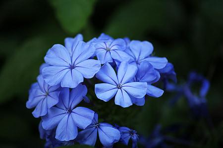 flors blaves, pètals, pètals blaus, flors, blau, fons
