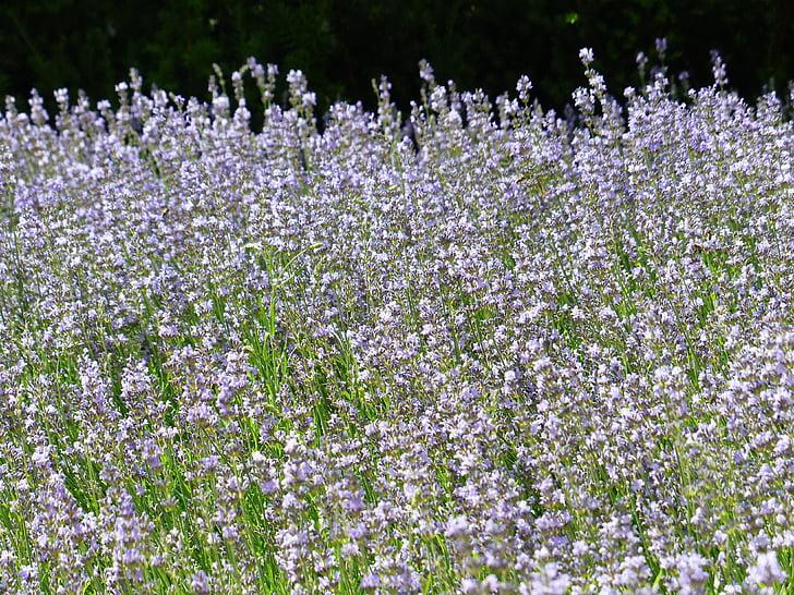 Levanda, levandų laukas, levandų auginimas, tikrosios levandos, siaurų lapų levanda, Lavandula angustifolia, Lavandula officinalis