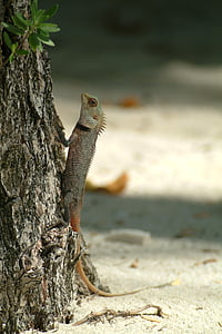 lizard, gecko, maldives