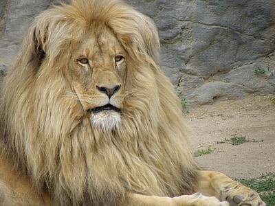 the lion, mane, head, portrait, lion - Feline, wildlife, carnivore