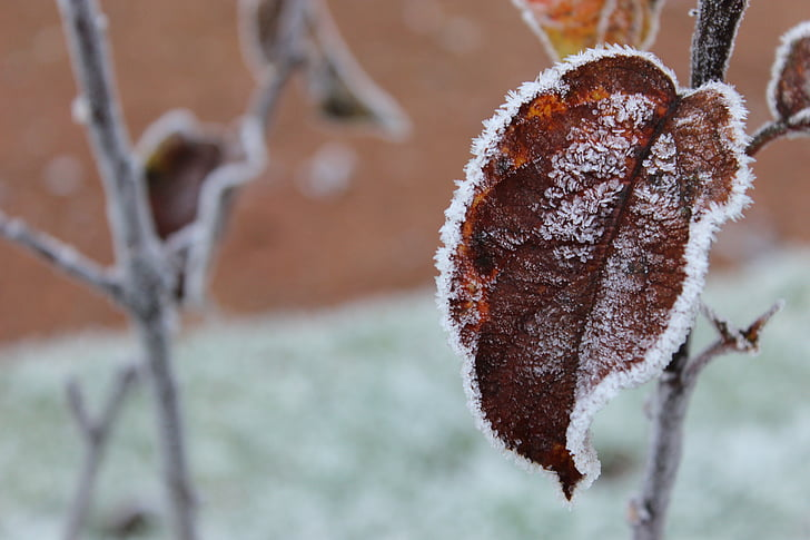 frost, winter, leaf, snow, outdoor, frosted, leaves