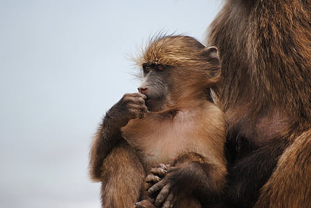 baby monkey, monkey, cape town, africa, cape of good hope, cape point, south africa