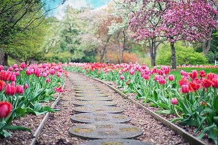 пътека, път, розов лалета, лалета, Пролет, Пролет, пейзаж