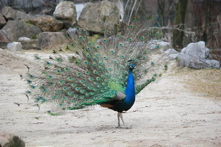 паун, птица, животните, перо, цветни, Грийн, синьо