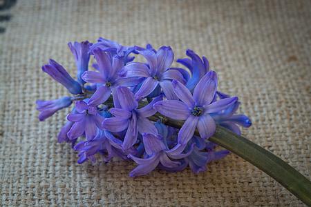 hyacinth, flower, blue, blue flower, flowers, blue flowers, spring flower