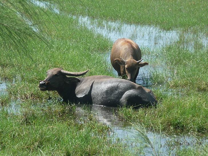 vaques, bestiar, Vietnam, Àsia, natura
