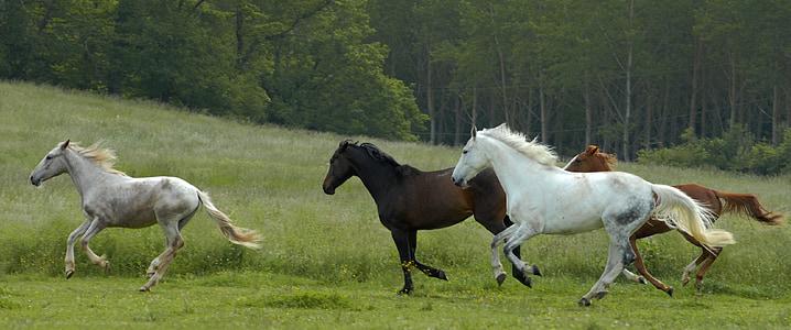 con ngựa, con ngựa, Thiên nhiên, con ngựa trắng, động vật, ngựa, Pre