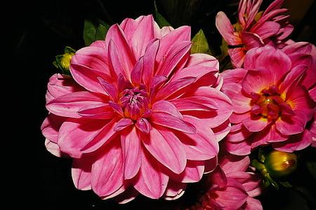 Dàlies, vermell, flor, flor, jardí de flors, flora, flor