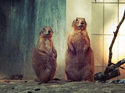 Meerkat, looma, Zoo, Nürnbergi, Saksamaa, imetaja, Wildlife
